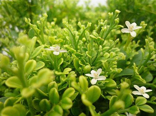 Murraya Paniculata 'Min-a-Min' 140mm