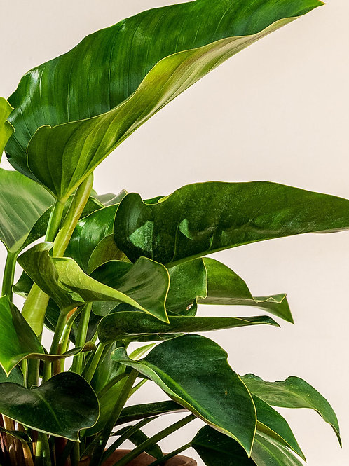 Philodendron 'Congo Green' 250mm
