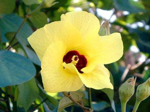 Hibiscus tiliaceus 25Lt