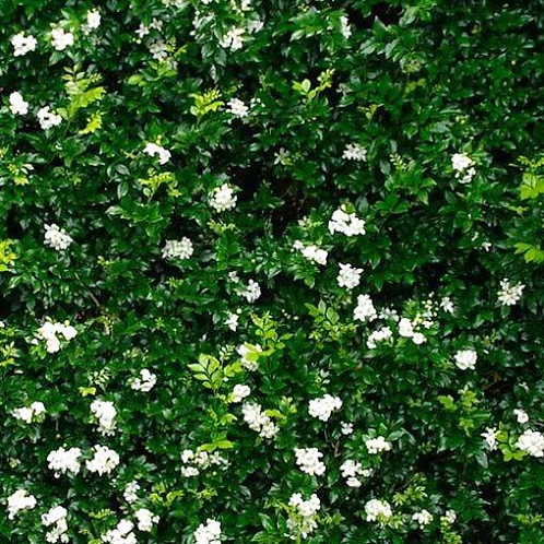 Murraya Paniculata 200mm