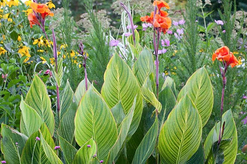 Canna lily Green 200mm
