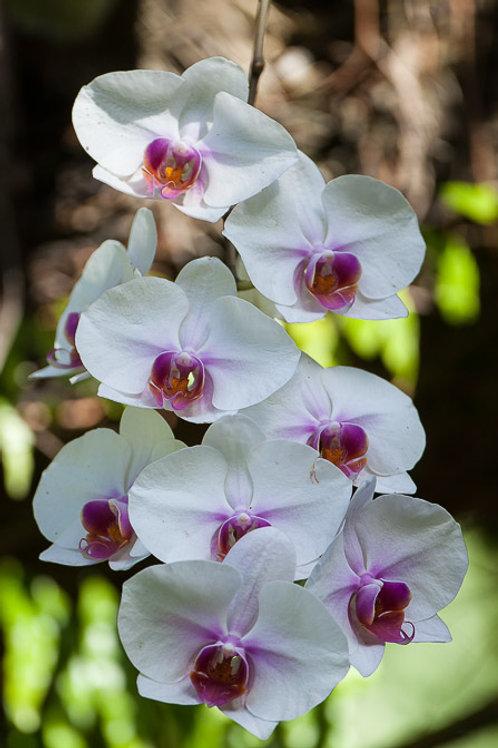 Orchidaceae sp 140mm