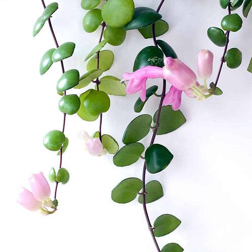 Aeschynanthus micranthus Pink(Hanging Basket)