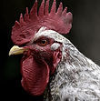 Brooster the Rooster.jpg