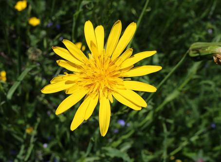 Pflanze des Monats Juni 2019 – Wiesenbocksbart