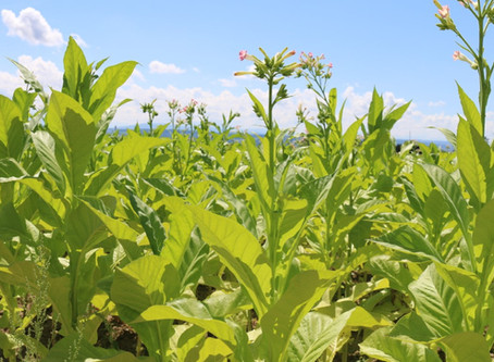 Pflanze des Monats September 2020 - Tabak