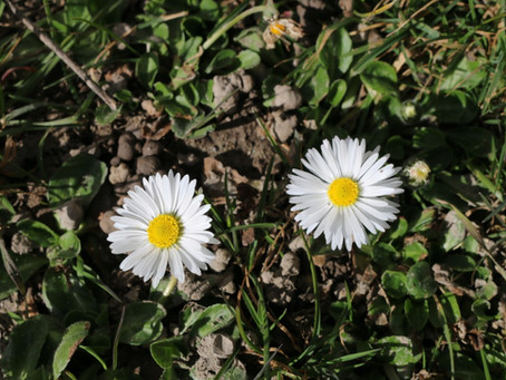 Pflanze des Monats März 2021 - Gänseblümchen