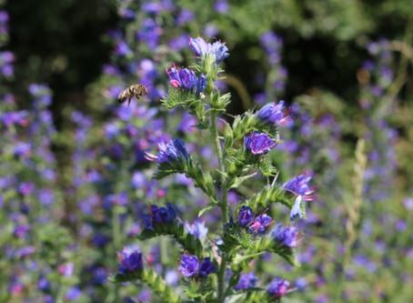 Pflanze des Monats Juli 2020 - Natternkopf