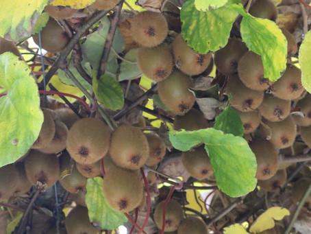 Pflanze des Monats Dezember 2020 - Kiwi