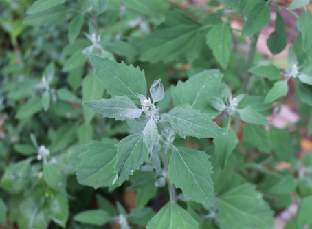 Pflanze des Monats August 2020 - Weisser Gänsefuss (Chenopodium album) und Melden (Atriplex)