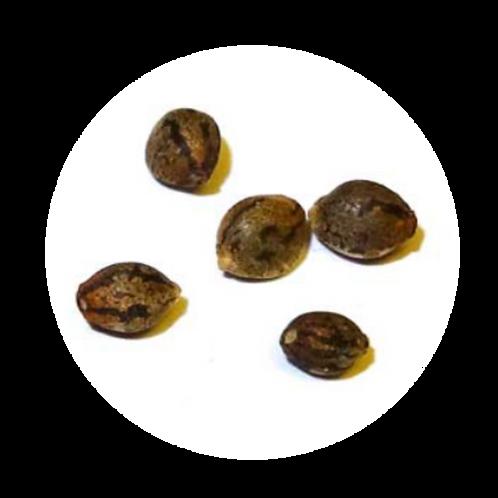 Haze Seeds - 5 Pack