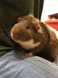guinea pig boarding, boarding kennels colchester, cattery colchester, dog kennels, hilltop kennels, catteries colchester