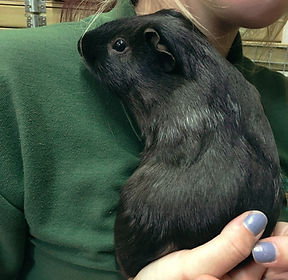 guinea pig boarding colchester, guinea pig boarding essex