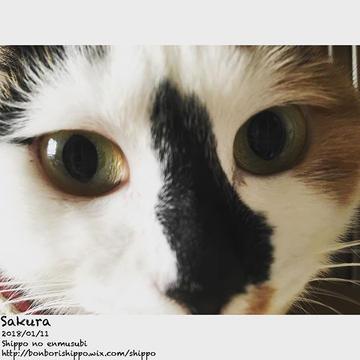 Good Meowning🐾__インパクト抜群のさくらさんよりおはにゃ。じわじわとクセになるお顔(_^m^_) #三毛猫 #コアラ鼻 #和柄  #しっぽのえんむすび #猫部 #里