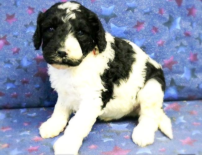Ultimatedoodle puppy