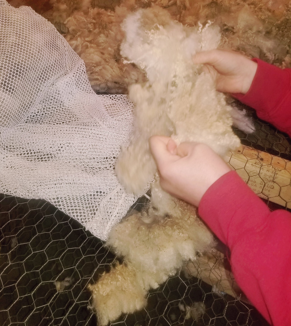 A person opening up a wool fleece