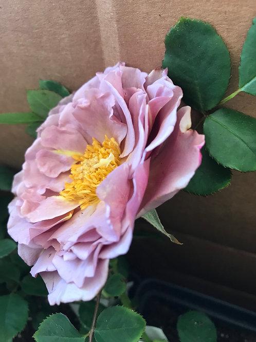 KOKO LOKO 2 Gallon Rose