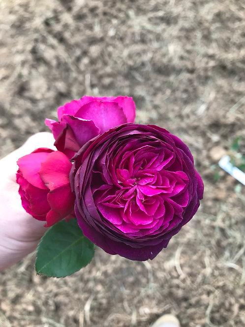 One Dozen Garden Rose Bouquet