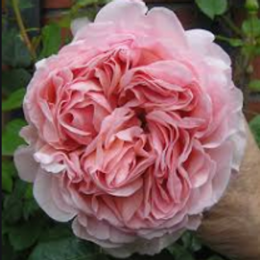 Abraham Darby 2 Gallon Rose
