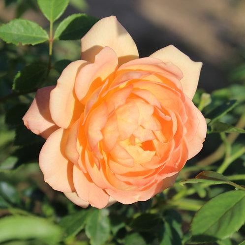 Lady of Shalott 2 Gallon Rose