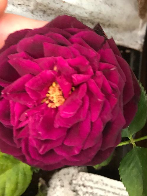 Ebb Tide 2 Gallon Rose