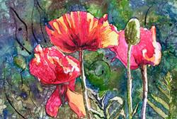 Wild Poppies by D Halprin