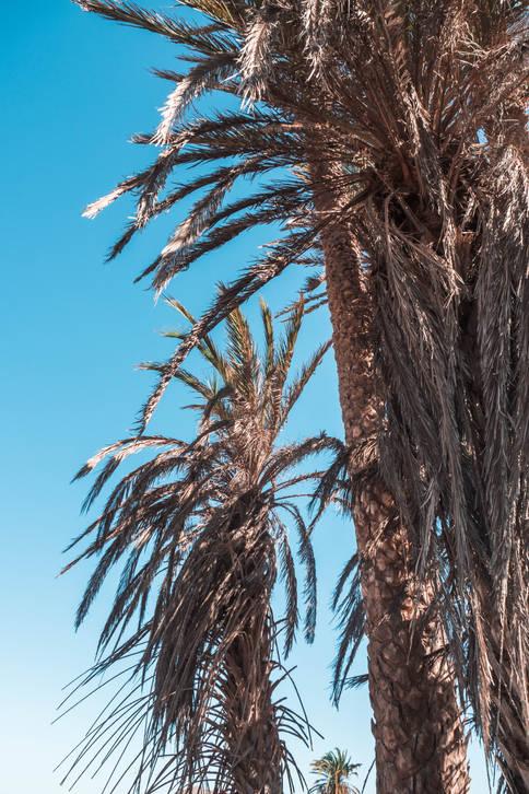 Palmiers sur Fond Bleu