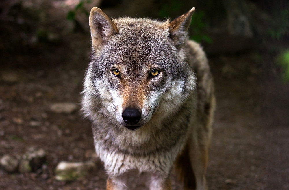 Grey wolf staring straight at you