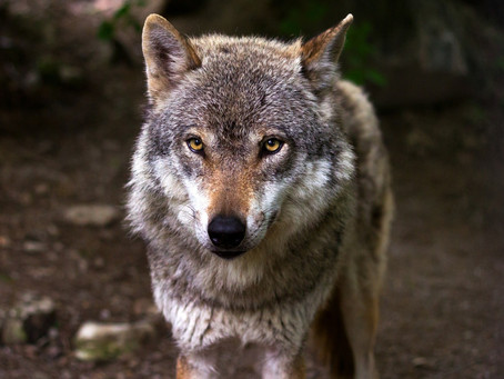 Wolves become dogs - how did that happen?