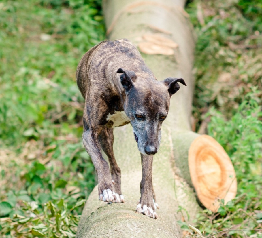 Dog balancing on a fallen tree