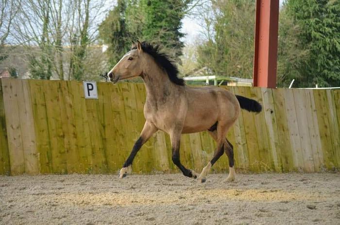 Bayo_cheval_espagnol.jpg