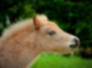 Jibaly_des_Aslines_chevalamericainminiat