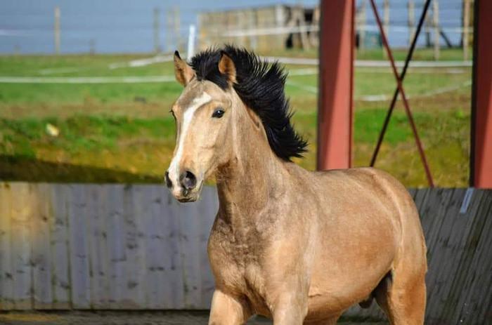 Bayo_vente_cheval_espagnol.jpg