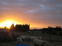 Sheep sunrise
