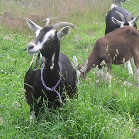 Dairy Goats and Sheep