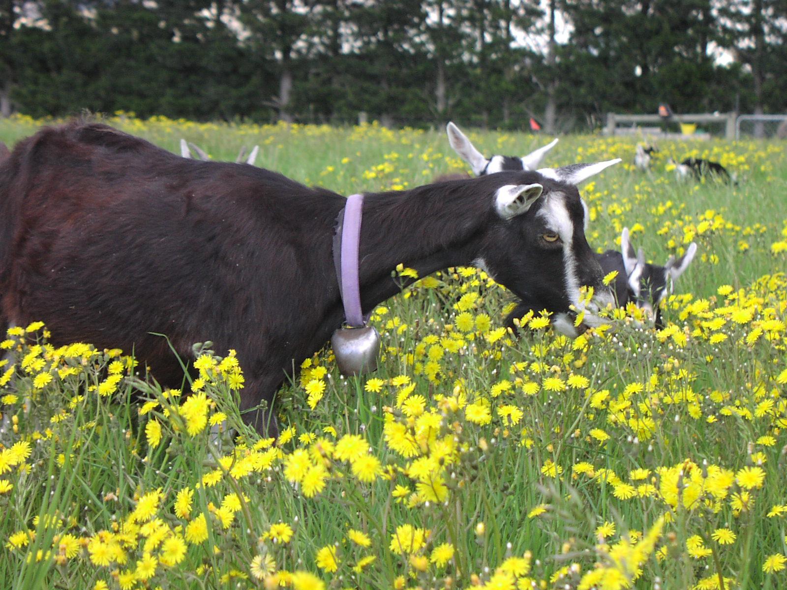 goat+in+flowers