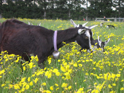 goat+in+flowers