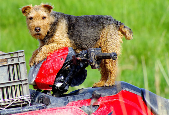 Terrier Dog on Bike
