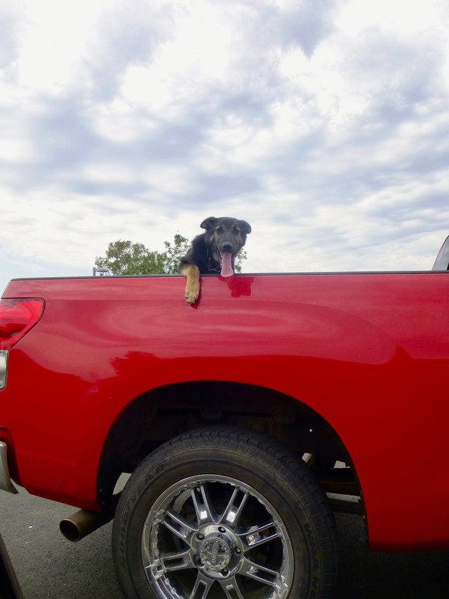 Dog in a red truck
