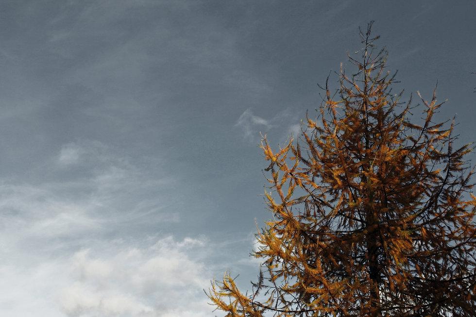Tamarack Tree pic2.jpg