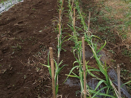 今年もにんにくを栽培しています