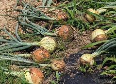 野菜の販売情報