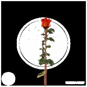 rose_1.png