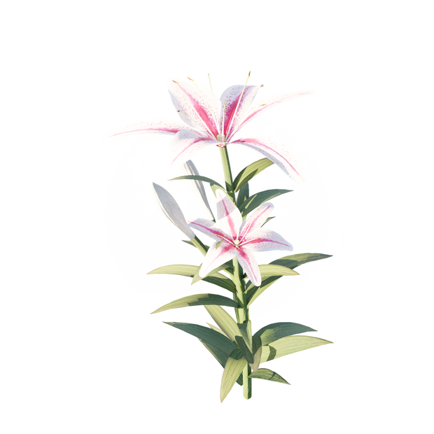 Pink_white_lily.png