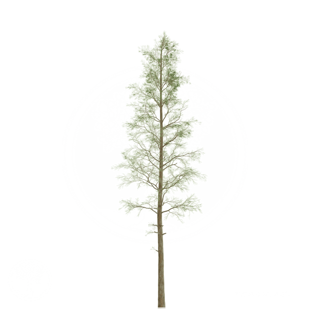 Pine_1.png