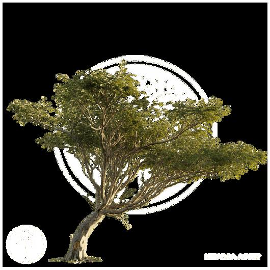 Acacia_tree_3.png