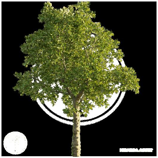 Orange_tree_4.png