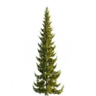 Norway_spruce_3.png