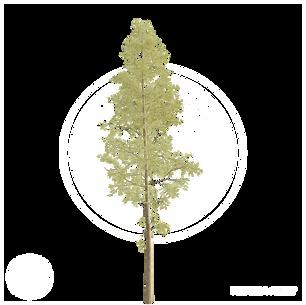 Pine_2.png