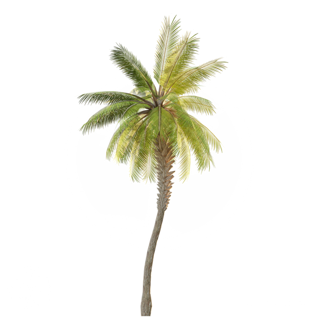 Date Palm_Tree.png